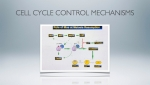 Cell cycle control mechanisms